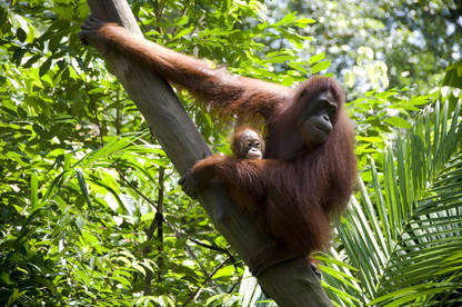 The orang-utan's plight has been at the forefront of efforts to stop Indonesia's forests being cleared for new palm oil plantations.
