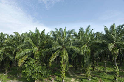 Much of the palm oil that ends up on our supermarket shelves comes from plantations in Indonesia and Malaysia.