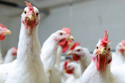 16nov chicken campylobacter