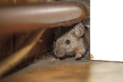 19aug renting rights rat