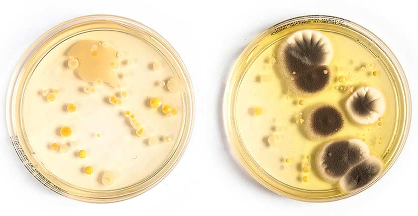 Two Petri dishes with bacteria growing on them.