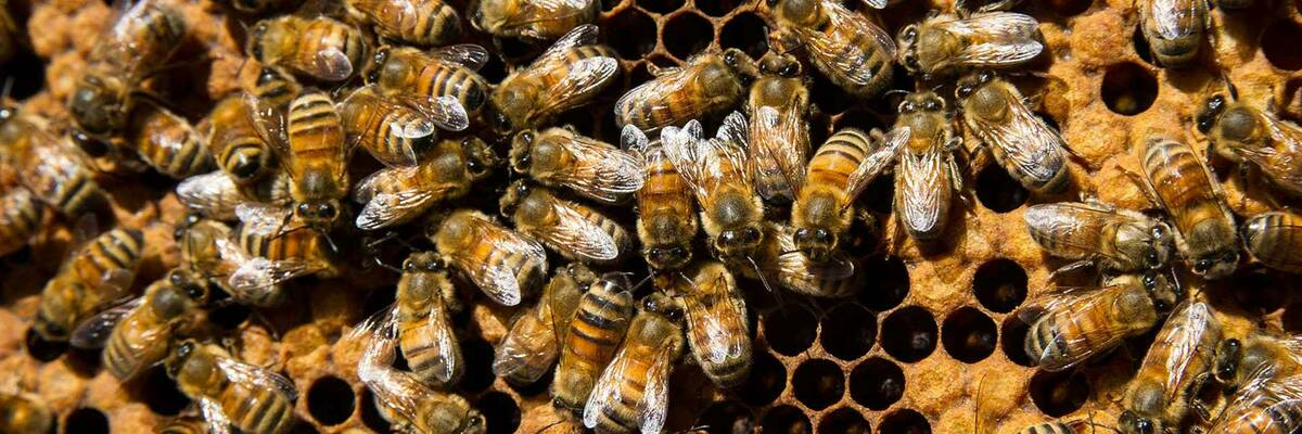 12dec bees and insecticides hero