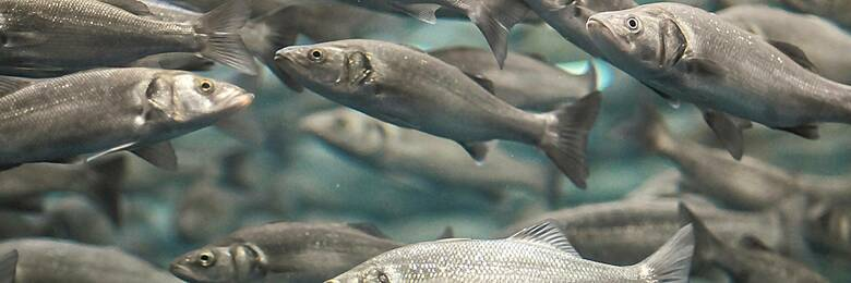 13oct farmed salmon hero