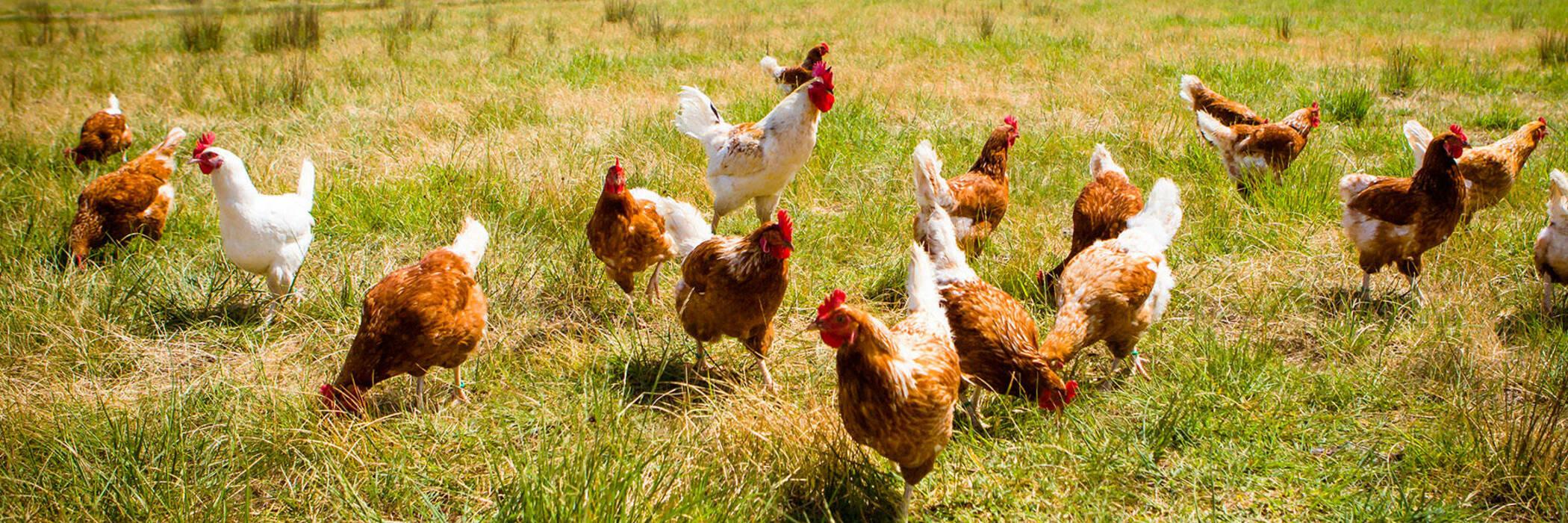 17jun free range eggs hero