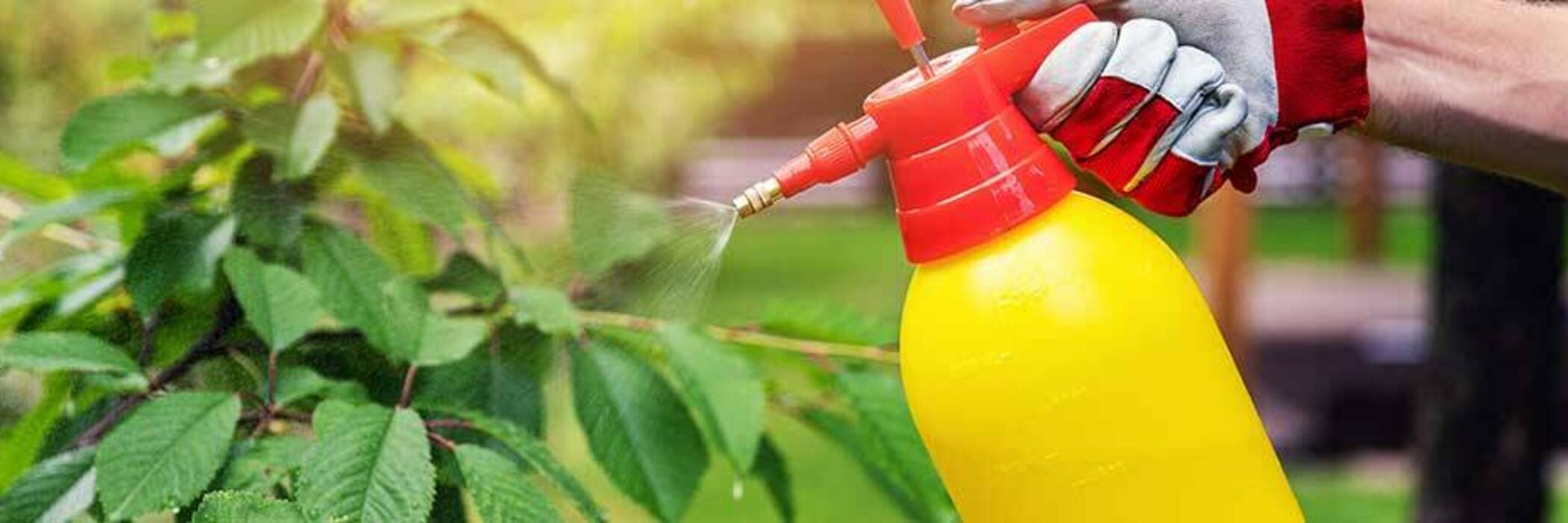 Gardener spraying cherry tree with insecticide.
